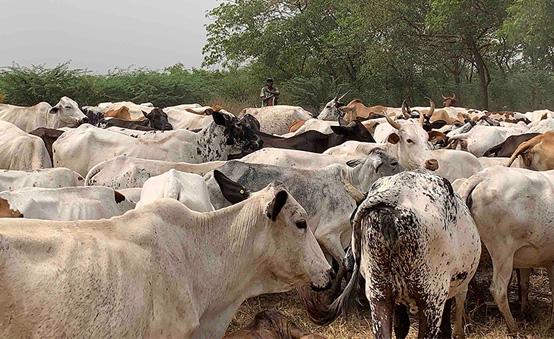 Cattle farming in Africa