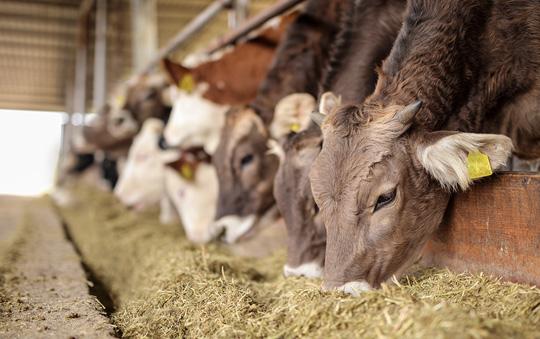 Feedlot calves