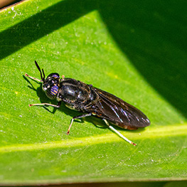 Black solder fly