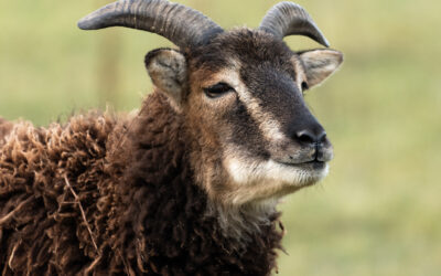 Roslin Technologies building breakthrough vaccine vehicle for sheep and goats using trypanosomes