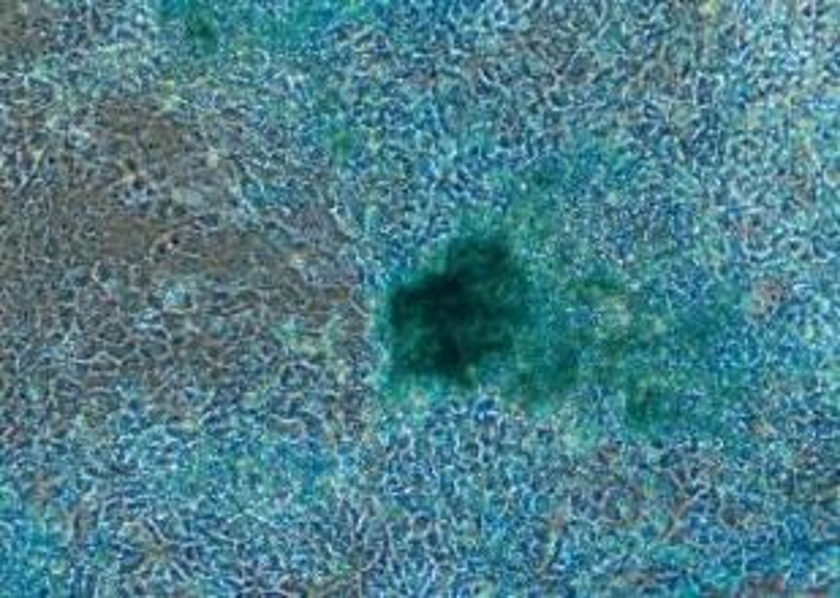Porcine Chondrocytes differentiated from iPS cell lines